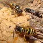 Wasps, Hornets, and Yellow Jackets – Oh My!