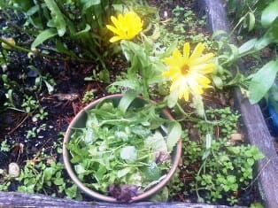 Chickweed is packed  vitamins and minerals